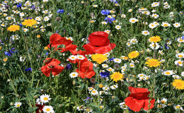 Flowers in a meadow Royalty Free Stock Images