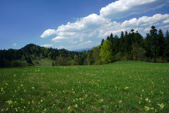 Flowers on meadow in carpathian mountains at spring Royalty Free Stock Photos