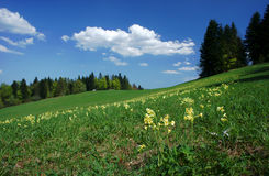 Flowers on meadow in carpathian mountains at spring Royalty Free Stock Photography