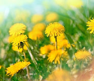 Flowers in meadow - dandelion flowers Stock Photos