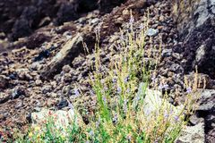 Flowers in the meadow at the foot of the volcano Mount Etna, Sicily, Italy royalty free stock image