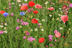 Flowers on meadow Stock Photography