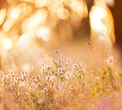 Flowers meadow Royalty Free Stock Photo