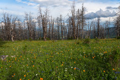 Flowers meadow mountains dry trees Stock Photography