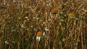 Flowers in the meadow moving in the wind. stock video footage