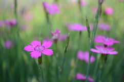 Flowers on the meadow. Pink flowers in the meadow summer day Stock Image