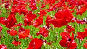 Flowers meadow of red poppies field in windy day, farmland, countryside, rural stock video footage