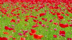 Flowers meadow of red poppies field in windy day,  rural stock video footage