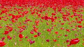 Flowers meadow of red poppies field in windy day, rural background stock video footage
