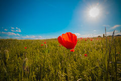 Flowers meadow of red poppies field in windy day under blue sky, rural background Stock Image