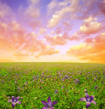 Flowers on meadow in the sunset Royalty Free Stock Photography