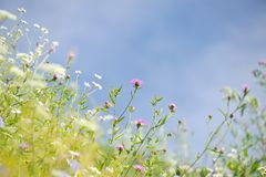 Flowers in the meadow Stock Image