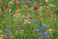 Flowers on a meadow Stock Photography