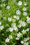 Flowers in the meadow. White flowers in the green meadow Royalty Free Stock Photography