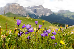 Flowers on meadows in Dolomites, Italy Stock Photography