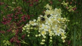 Flowers of meadowsweet stock footage