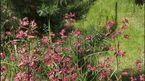 Flowers of meadowsweet stock video