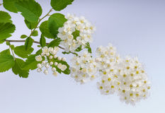 Flowers of meadowsweet Stock Photo