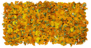 Flowers of a medical calendula background Stock Image