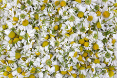 Flowers a medical camomile Stock Photography
