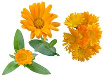 Flowers medicinal Calendula. On a white background stock images