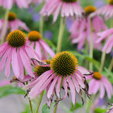Flowers medicinal herb echinacea purpurea or coneflower Stock Photo