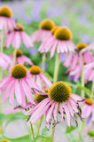 Flowers medicinal herb echinacea purpurea or coneflower Stock Photography