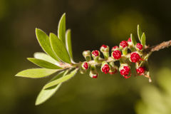 Flowers of Melaleuca viminalis, weeping bottlebrush Stock Images