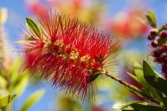 Flowers of Melaleuca viminalis, weeping bottlebrush Royalty Free Stock Image