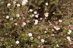 Mexican fleabane Erigeron karvinskianus Royalty Free Stock Image