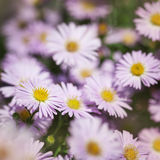 Flowers Michaelmas Daisy Royalty Free Stock Photography