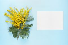 Flowers of mimosa and blank greeting card Royalty Free Stock Images