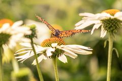 Flowers and a monarch butterfly with open wings royalty free stock image