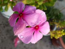 FLOWERS ARE THE MOST SOFT NATURE. Fewdrops, rain, photography, photographylove, naturelover, bali, balinature, baliseaview, lovelyview, sight, beautiful, dream stock image