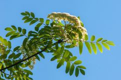 Flowers of mountain ash. Flowering of ashberry Sorbus aucuparia. L. Foliage and flowers. Rocks An ordinary branch with a large white flower on a mottled green royalty free stock photos