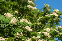 Flowers of mountain ash. Flowering of ashberry Sorbus aucuparia. L. Foliage and flowers. Rocks An ordinary branch with a large white flower on a mottled green Stock Photography