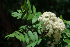 Flowers of mountain ash. Flowering of ashberry Sorbus aucuparia. L. Foliage and flowers. Rocks An ordinary branch with a large white flower on a mottled green royalty free stock image