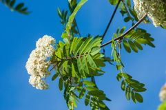 Flowers of mountain ash. Flowering of ashberry Sorbus aucuparia. L. Foliage and flowers. Rocks An ordinary branch with a large white flower on a mottled green Royalty Free Stock Photo