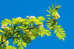 Flowers of mountain ash. Flowering of ashberry Sorbus aucuparia. L. Foliage and flowers. Rocks An ordinary branch with a large white flower on a mottled green stock images