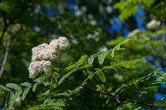 Flowers of mountain ash. Flowering of ashberry Sorbus aucuparia. L. Foliage and flowers. Rocks An ordinary branch with a large white flower on a mottled green Stock Photos