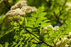 Flowers of mountain ash. Flowering of ashberry Sorbus aucuparia. L. Foliage and flowers. Rocks An ordinary branch with a large white flower on a mottled green stock image