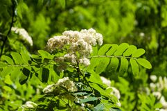Flowers of mountain ash. Flowering of ashberry Sorbus aucuparia. L. Foliage and flowers. Rocks An ordinary branch with a large white flower on a mottled green royalty free stock images