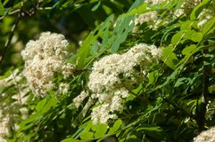 Flowers of mountain ash. Flowering of ashberry Sorbus aucuparia. L. Foliage and flowers. Rocks An ordinary branch with a large white flower on a mottled green royalty free stock photography