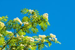 Flowers of mountain ash. Flowering of ashberry Sorbus aucuparia. L. Foliage and flowers. Rocks An ordinary branch with a large white flower on a mottled green Stock Photo