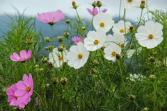 Flowers on mountain. Beautiful nature scene, cosmos flowers on mountain Royalty Free Stock Photo