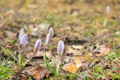 Flowers of mountain crocus opened and in buds on a meadow with old grass stock image