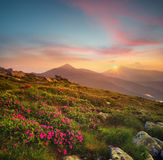 Flowers on the mountain field during sunrise Royalty Free Stock Images