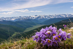 Flowers mountain snow background snowdrops Stock Photography