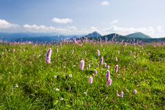 Flowers on mountains Royalty Free Stock Photo