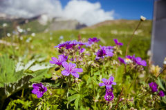 Flowers in mountains Royalty Free Stock Images